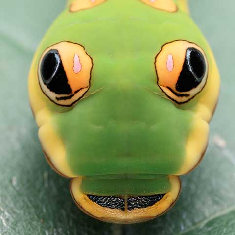 Photo of the swallowtail caterpillar