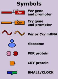 Symbols - The role of Per and Cry in the mammalian molecular model