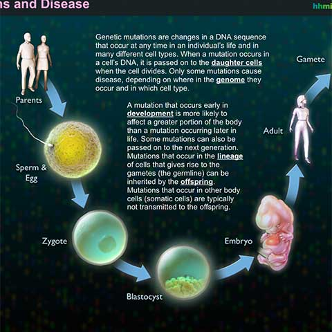 Genetic mutations and disease interactive hhmi for Your inner fish summary