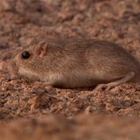 Photo of a pocket mouse