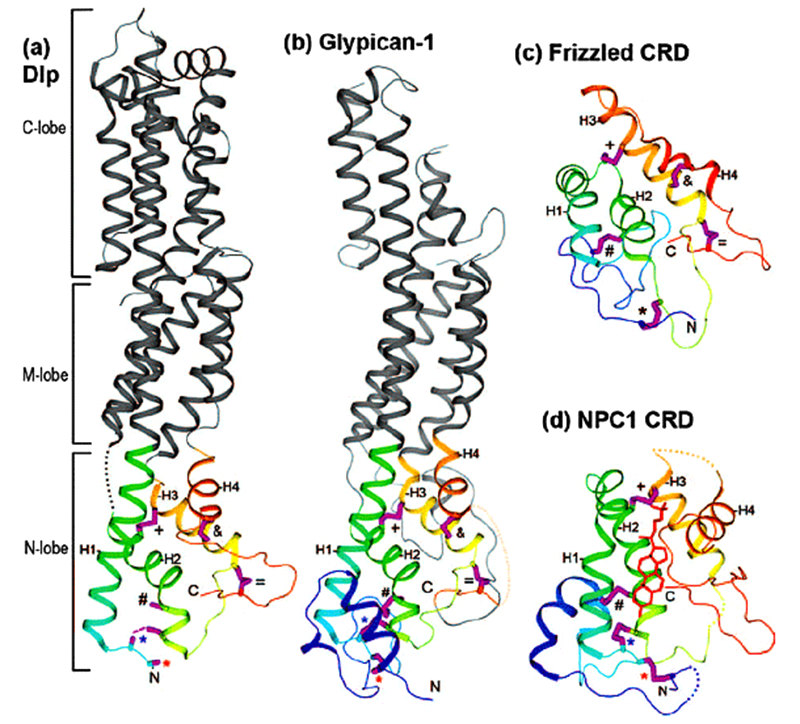 Glypicans (a, b) contain a cysteine-rich domain known in frizzled (c) and NPC1 protein (d).