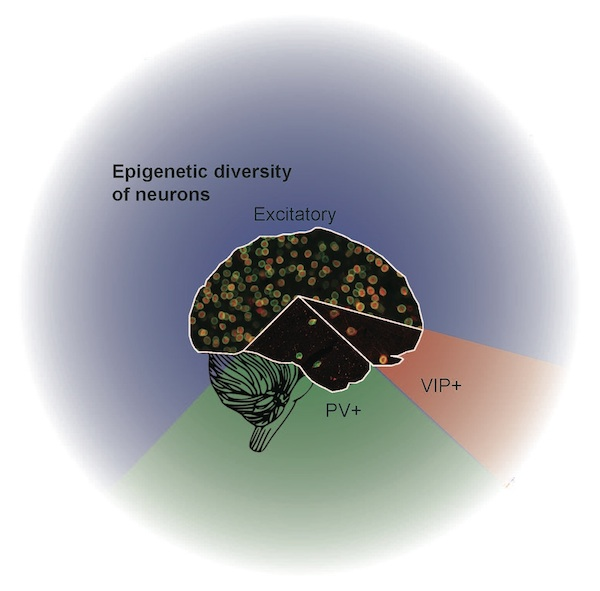 Epigenetic Diversity of Neurons