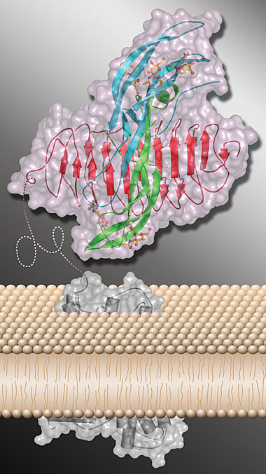 Crystal structure of human FSH and receptor