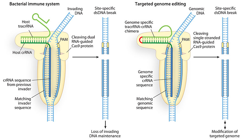 An RNA-based complex guides the DNA-cutting enzyme Cas9 to specific sites in the genome.
