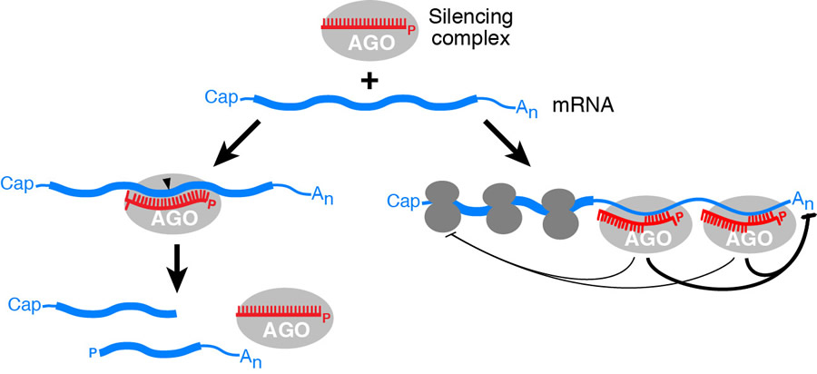 MicroRNA-mediated gene repression.