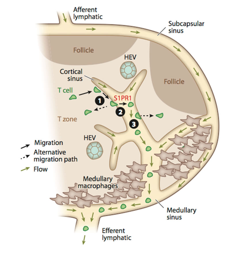 Cell Migration And Communication In The Immune System Hhmi