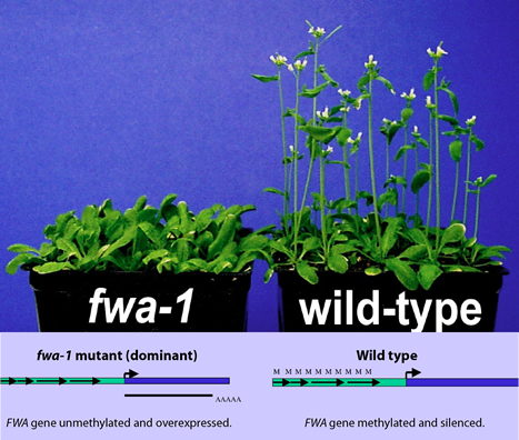 The epigenetic allele of the FWA gene.