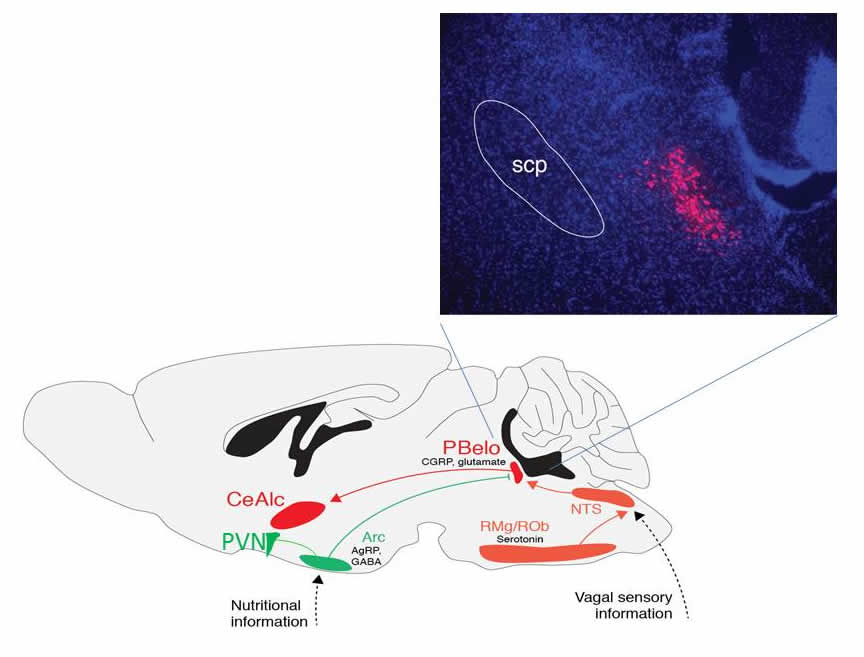 Neurons express agouti-related protein (AgRP) in the arcuate hypothalamus...