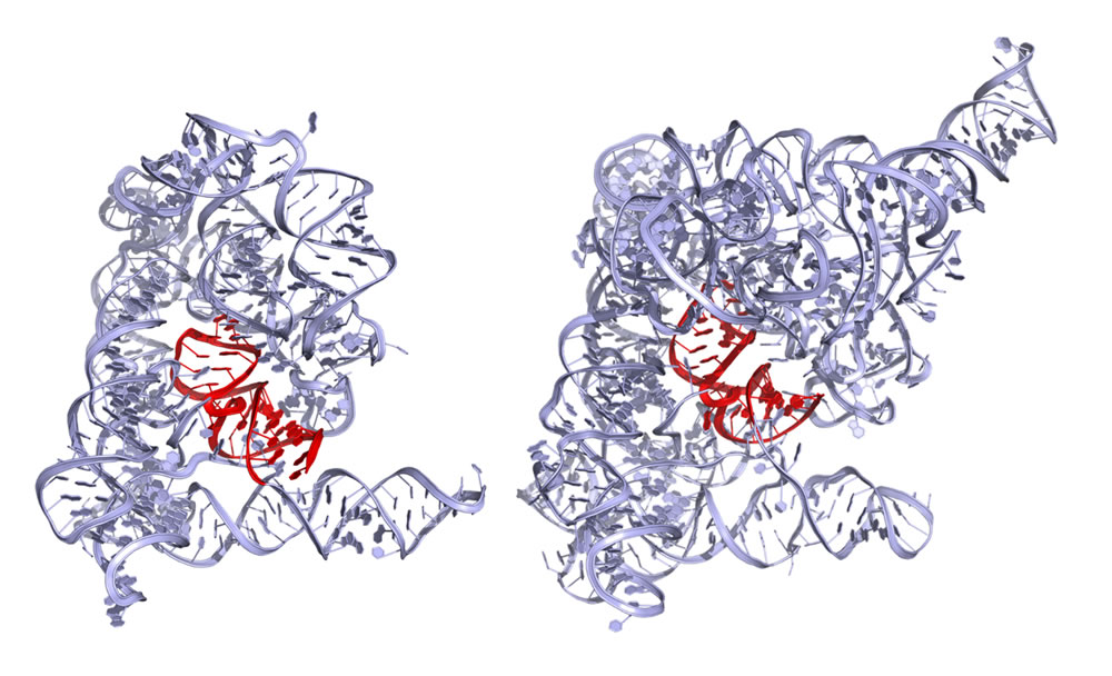 Figure 1: Crystal structure of the Oi group IIC intron (left, 4FAR).