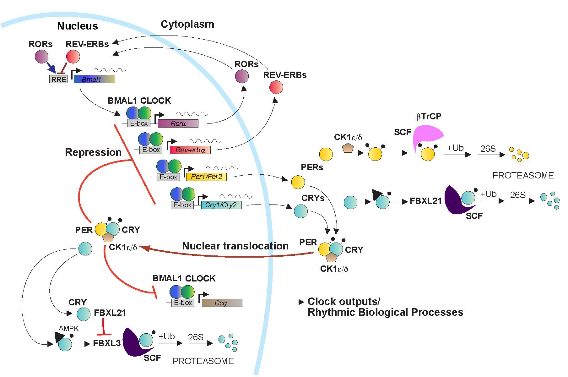 ... pathway for inactive-to-active conversion in a signaling protein