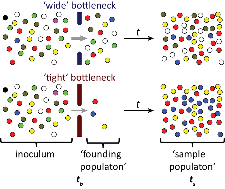 Schematic representation of the STAMP principle for measuring bottleneck size.