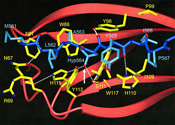 Figure 1: Structure of HIF1α bound to pVHL...