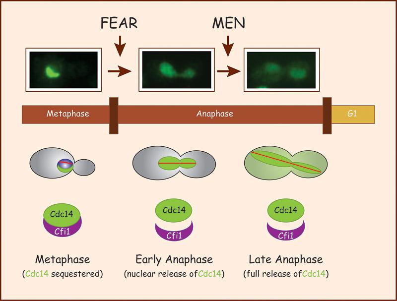 metaphase 1 definition deutsch