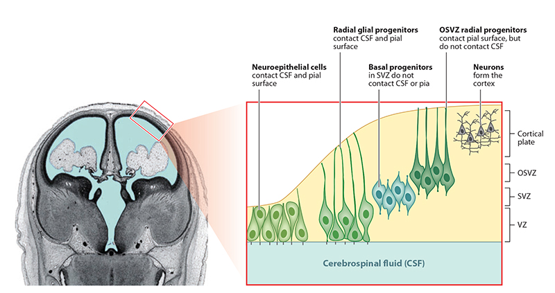 figure 1 the developing cerebral cortex