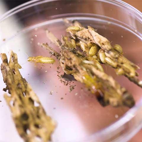 Photo of termites in a petri dish