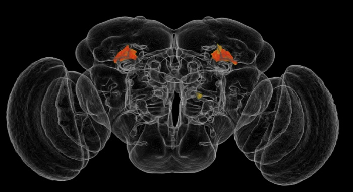 Artificial Intelligence Helps Build Brain Atlas Of Fly Behavior