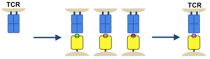 T cell receptors