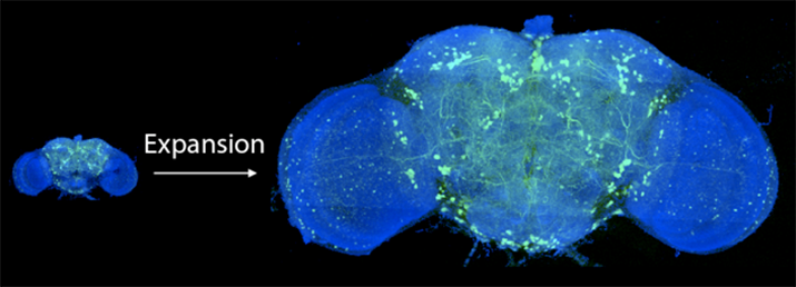 Expansion of fruit fly brain image