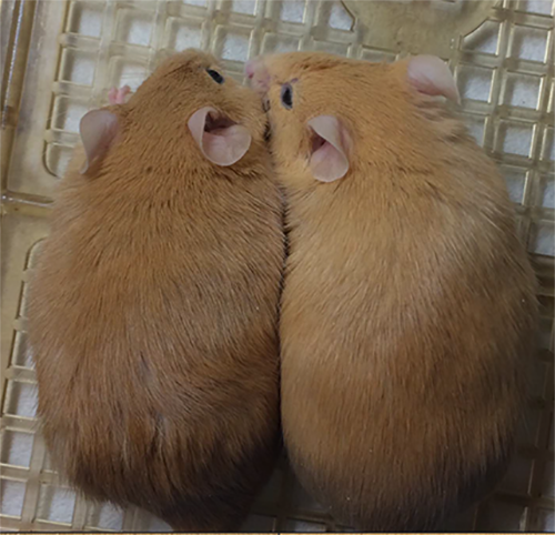 Two mice with noticeably different shades of fur.