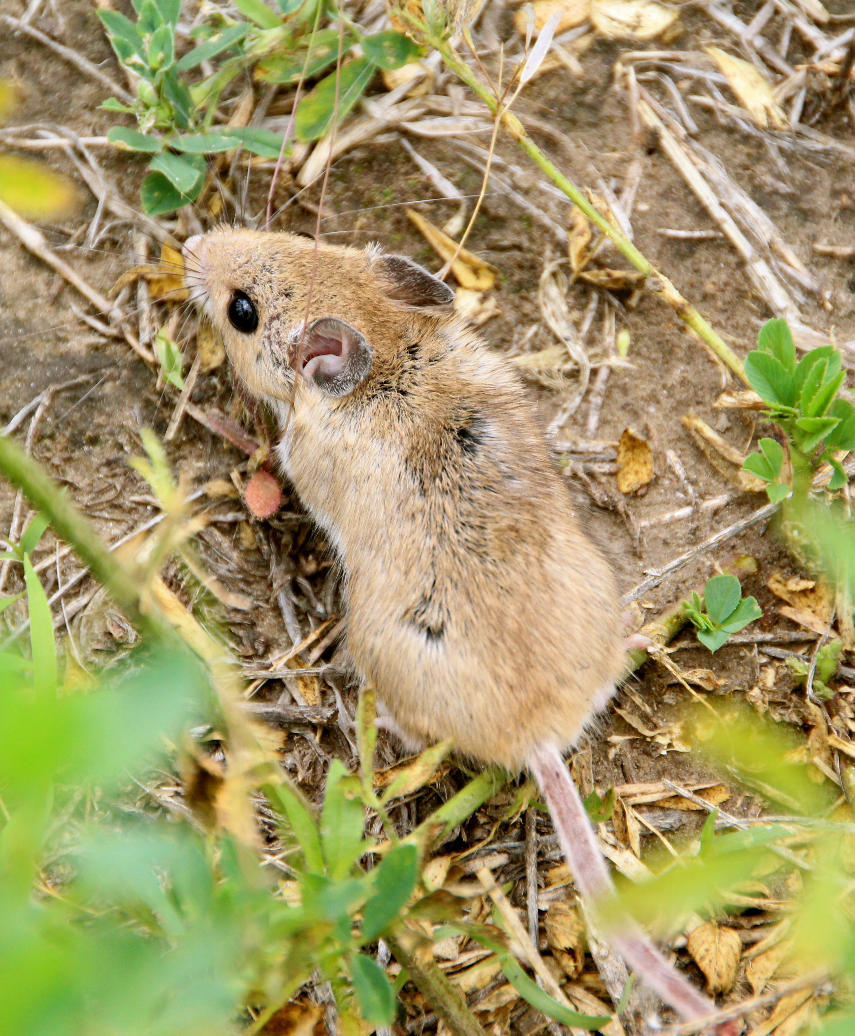 A light brown mouse is observed from above, surrounded by rough grass.