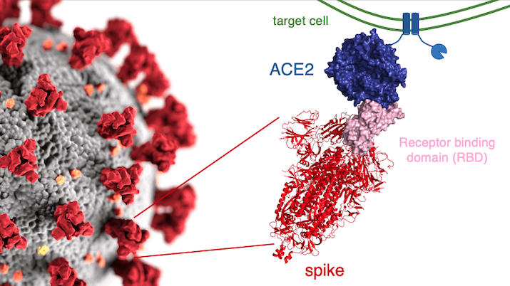 schematic of SARS-CoV-2 and ACE2 binding