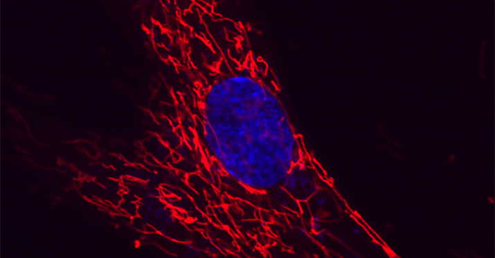 Single cell with mitochondria in red