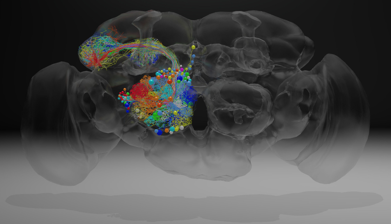 Complete Fly Brain Imaged At Nanoscale Resolution Hhmi