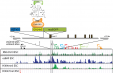 Construction of the chromatin indicator and assay at the Oct4 locus (CiAO) mouse.