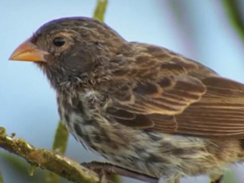 The Origin of Species: The Beak of the Finch | HHMI BioInteractive