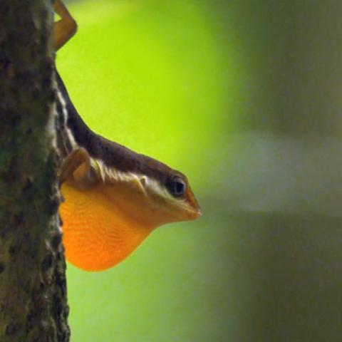 El origen de las especies: lagartijas en un árbol evolutivo