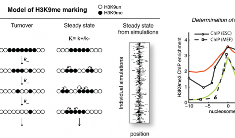 A balanced intrinsic reaction rate model predicts the topology of more than 99 percent of H3K9Me3 domains.