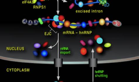 Figure 1: Pathway from gene to ribosomes.