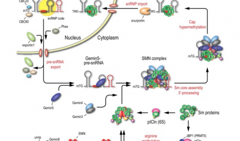 Figure 2: The SMN complex (SMN, Gemin2–8, and unrip) mediates the stepwise assembly of Sm cores on snRNAs. SMN is oligomeric, depicted for simplicity as a dimer.