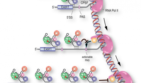Figure 4: In addition to its role in 5' splice-site (5'ss) recognition, the first step in splicing, U1 snRNP is a suppressor of polyadenylation signals.