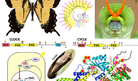 Complete genome of Eastern Tiger Swallowtail reveals expansion of isoprenoid biosynthesis enzymes...