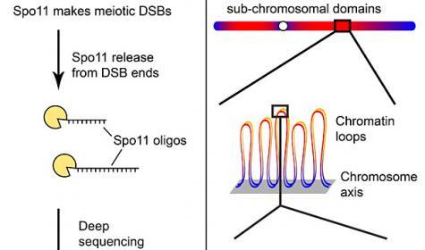 Meiotic Recombination of Meiotic Recombination