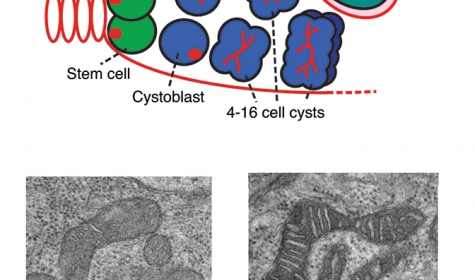 Mitochondrial maturation during stem cell differentiation.